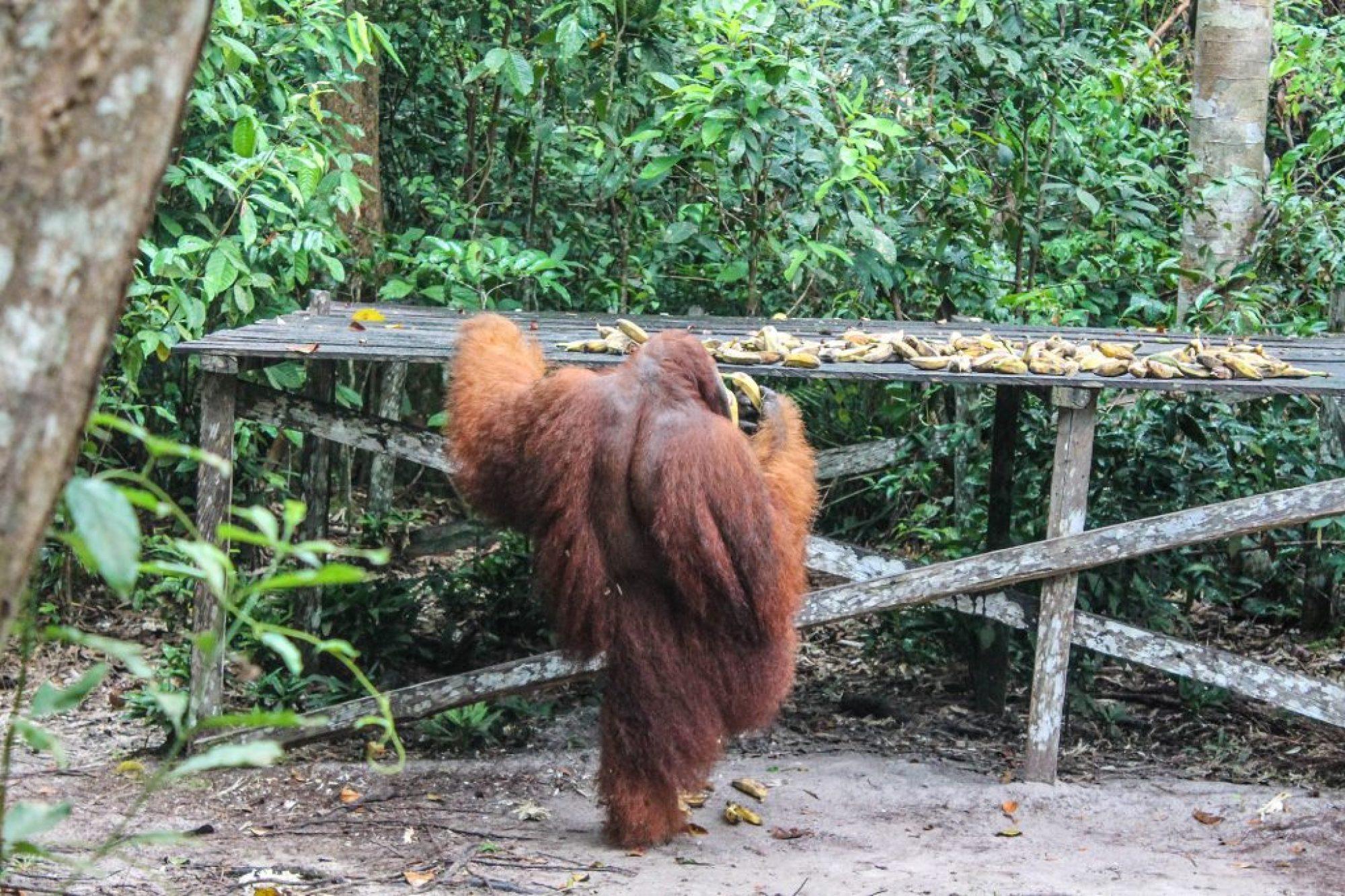 orangutanes-en-borneo-6