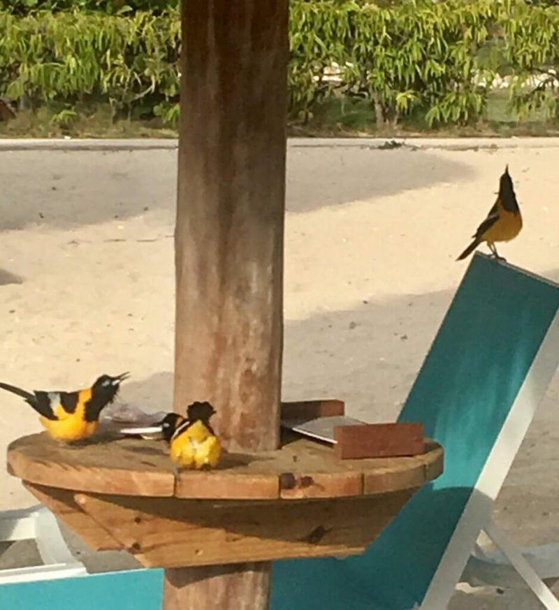 Pájaros en Curaçao