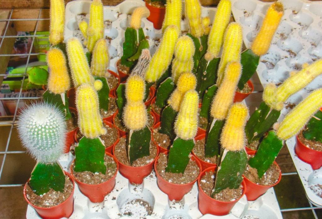 cactus valley cameron