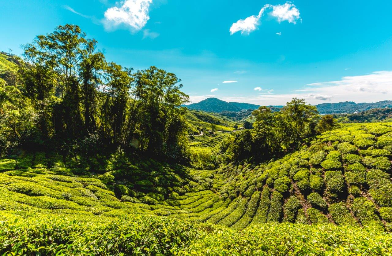 cameron highlands attractions cameron highlands things to do