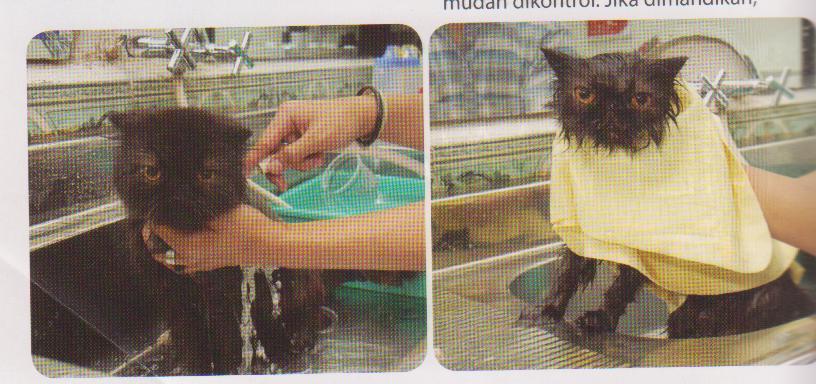 Cara Merawat Bulu Kucing Bangalldhy