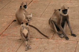 Šrilankas pērtiķi