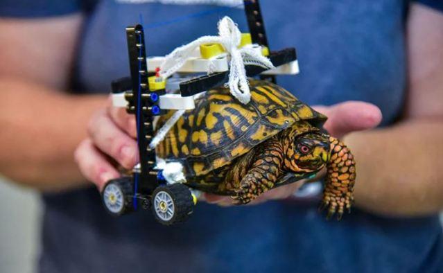 Médicos crean una silla de ruedas LEGO para una tortuga herida