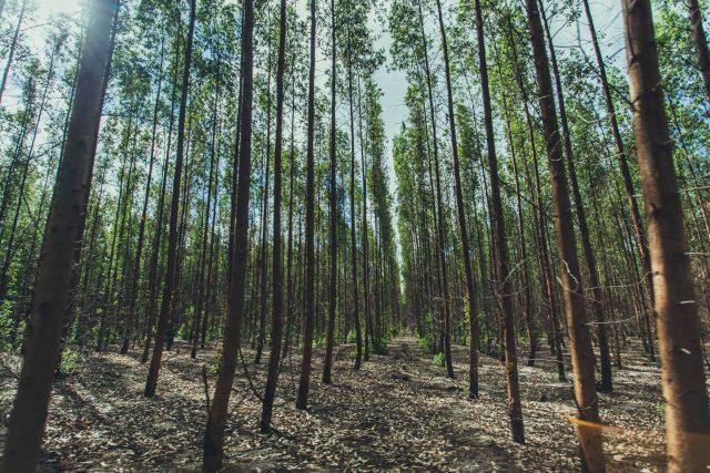 A Fibria eucalyptus forest in Brazil