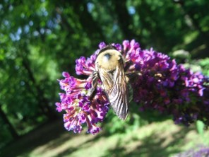 bee on the butterfly bush
