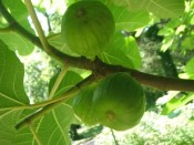 on-the-way figs