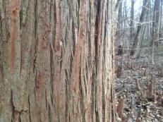 bald cypress bark close-up