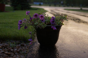 flowers 1531507 1280 300x200 Are Paved Driveways Contributing to Stormwater Pollution?