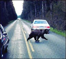 Photo: Bear Crossing Road