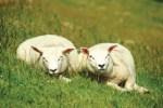 sheep © John Foxx