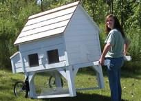 backyard chickens' width=