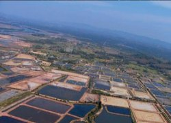 shrimp farming in Thailand