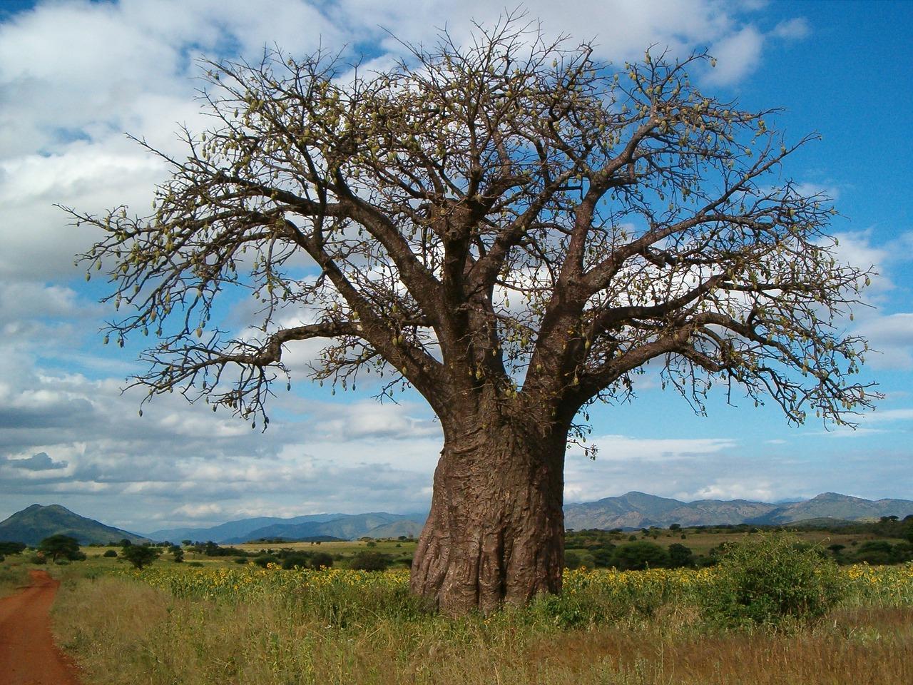 Superfood Baobá
