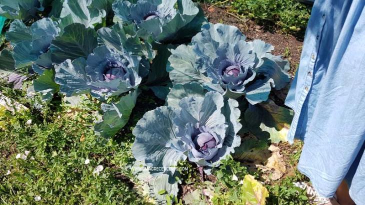 Folhas de couve e couve-flor - Blog Emagrecer Certo - Horta no quintal