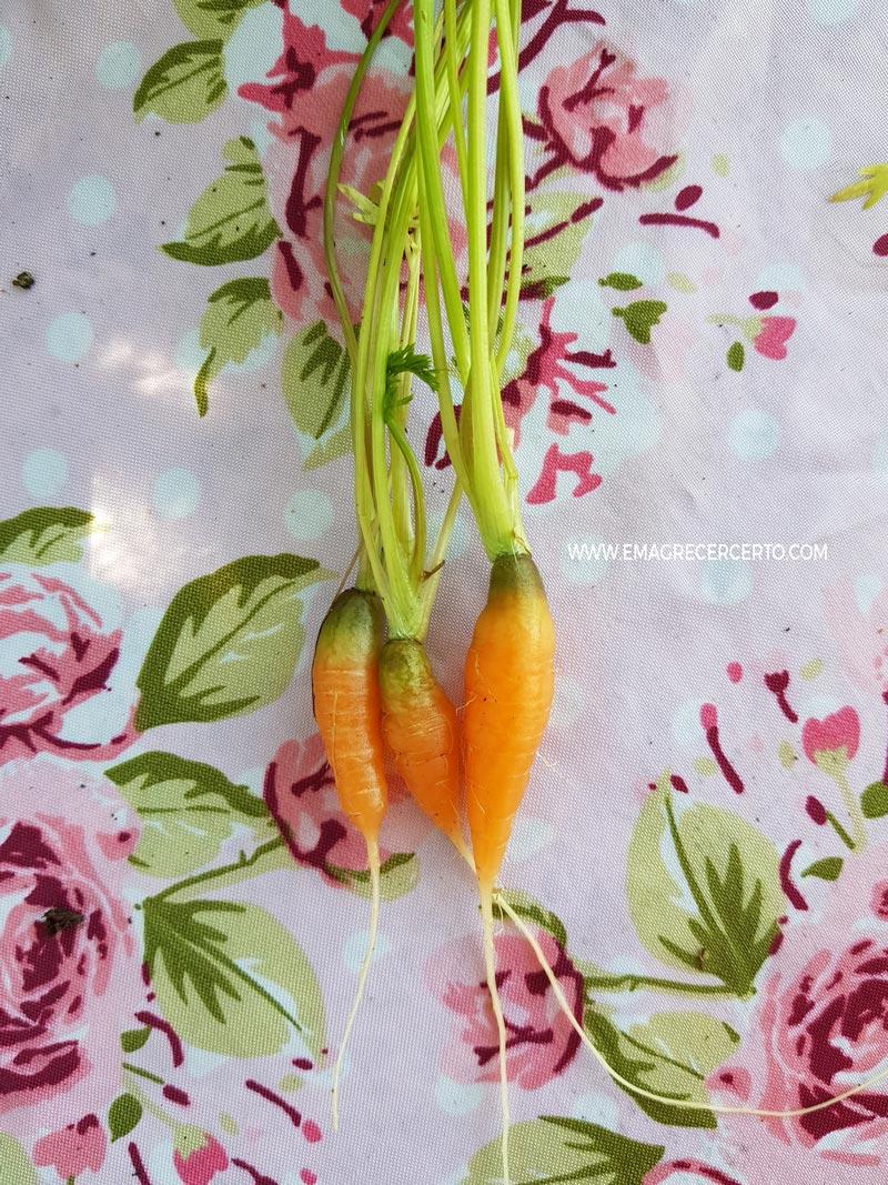 Cenouras pequenas - Blog Emagrecer Certo - Horta no quintal