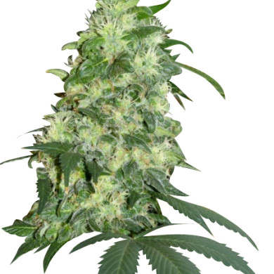 northern-lights-seeds6-390x390