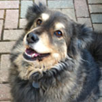 Australian shepherd mix Dohji sitting on pavers