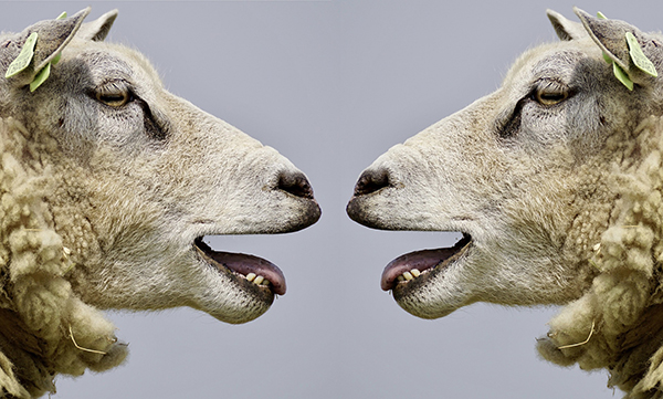 two sheep facing each other with mouths open
