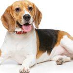 A Guide To Beagles Embarkvet