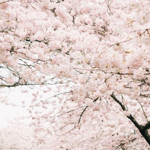 cherry blossoms in portland