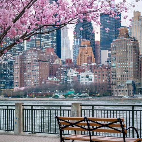roosevelt island cherry blossoms, nyc
