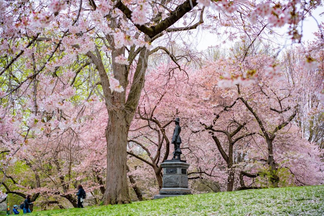 best spots for cherry blossoms Central Park