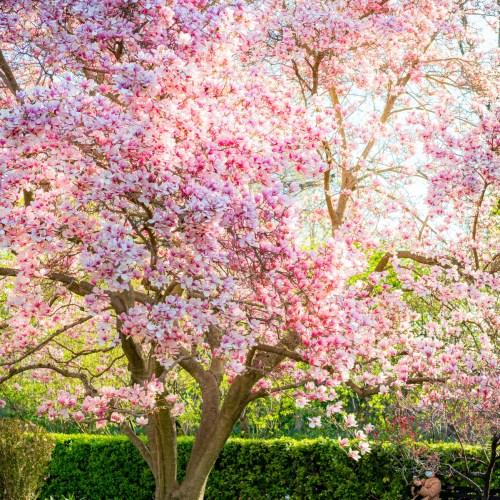 conservatory garden new york city spring blooms
