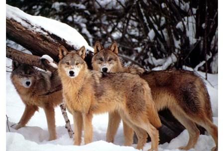 wolfs