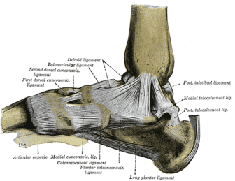 Medial ligaments foot From Wikipaedia.com