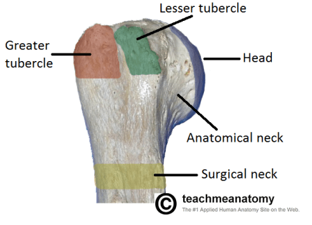 Anatomy of proximal humerus