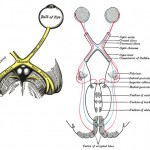 optic nerve and visual pathways from grays anatomy
