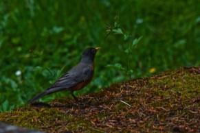 Robin 02