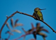 Hummingbird sits on a branch.