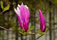 Vince Ferguson - Magnolia Buds - Digital Image
