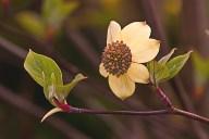 Vince Ferguson - Yellow Bird Magnolia - Digital Image