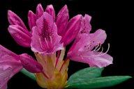 Vince Ferguson - Rhododendron - Digital Image