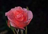 Vince Ferguson - Rose Salmon - Digital Image