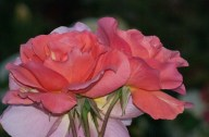 Vince Ferguson - Roses - Digital Image