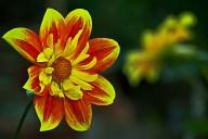 Vince Ferguson - Red and Yellow Dahlia - Digital image