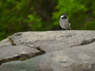 Chickadee on Rock