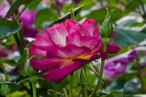 C. Vincent Ferguson - Cutta the Blue Rose - Digital Image