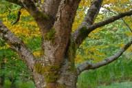 C. Vincent Ferguson - Autumn Birch Tree - Digital Image