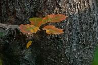 C. Vincent Ferguson - Autumn Red Oak - Digital Image
