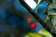 C. Vincent Ferguson - Holly Berries with Leaf - Digital Image