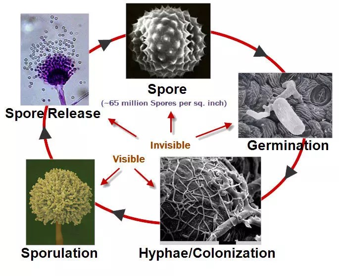 life cycle of mold