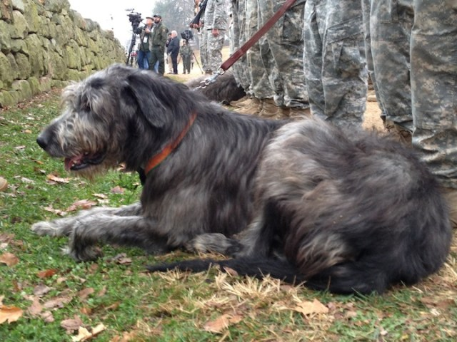 Woldhound