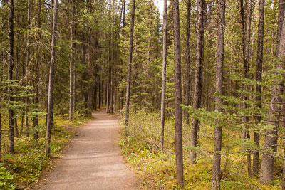 Wandering through the spruce forest on the Marl Lake Trail