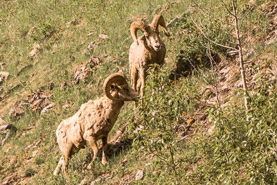 Photo of Rocky Mountain sheep