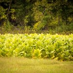 Tobacco field along the Marion County Quilt Trail