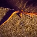 Salamander in Cub Run Cave